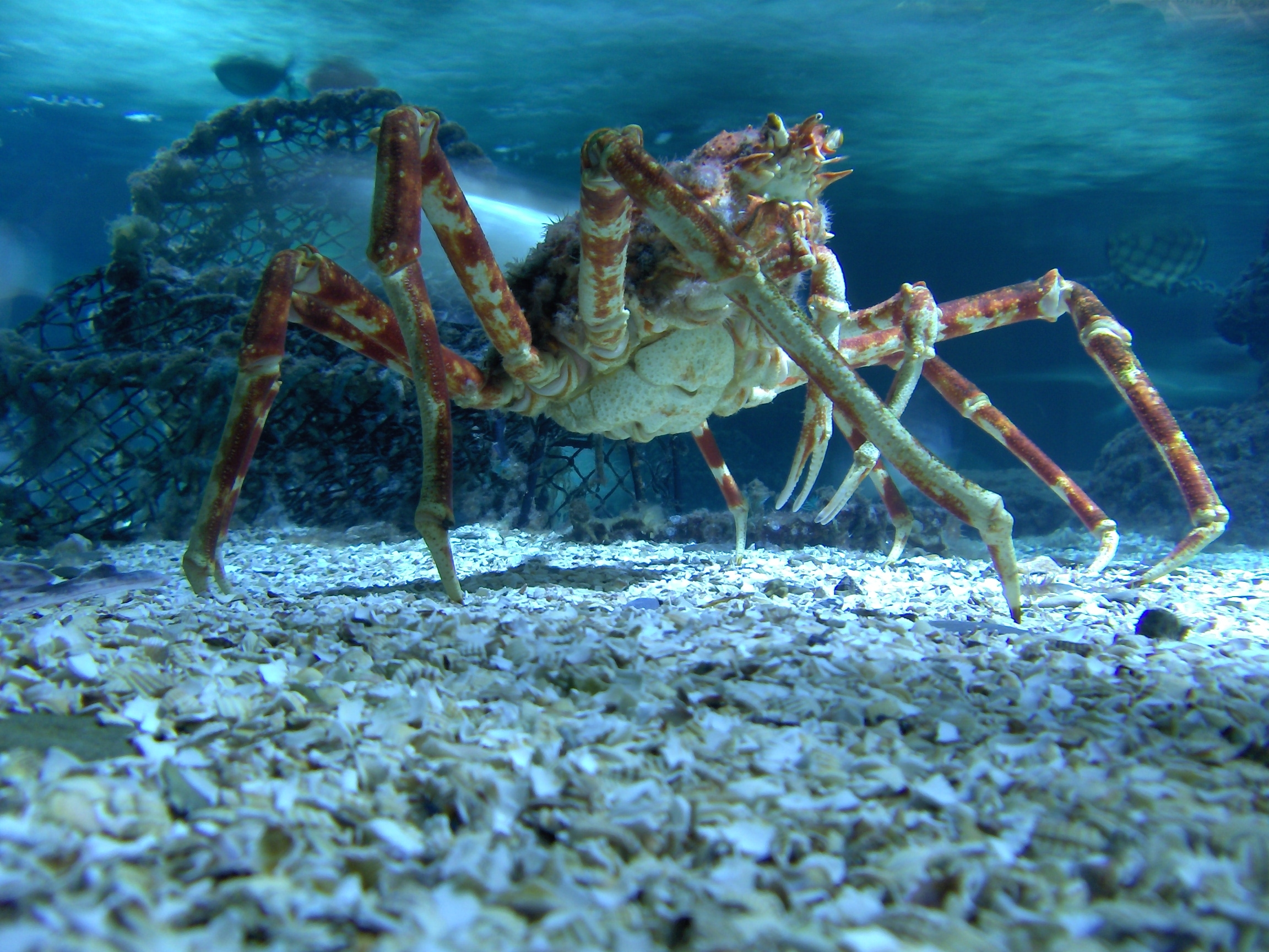worlds largest crustacean giant spider crab essay