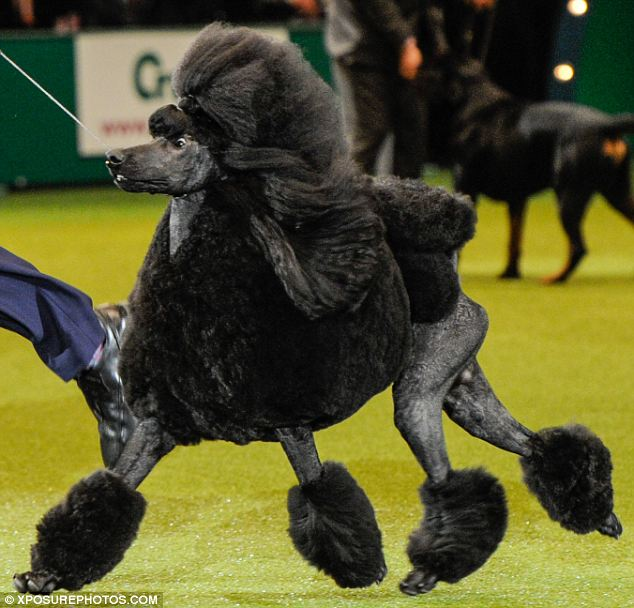 2014 Cruft's champion Ricky the poodle (no relation to Ricky the spaniel) strutting his stuff in the Best-In-Show ring.