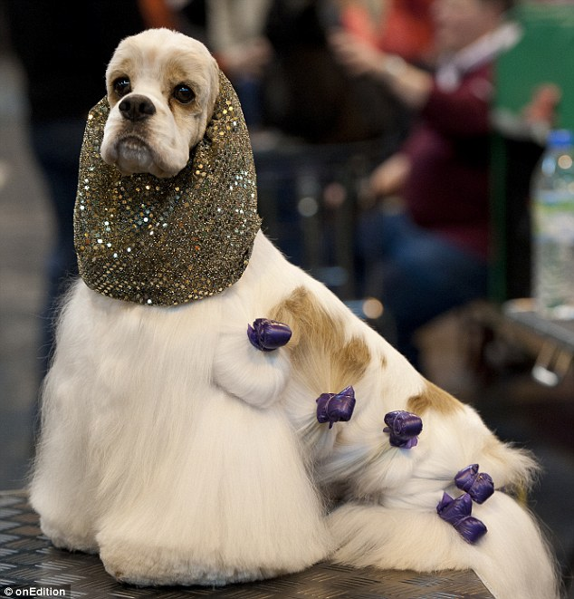 American Cocker Spaniel Ricky, readying himself for Crufts in 2013 sporting a decorative snood and purple hair clips.