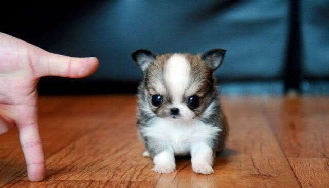 cutest-puppy-ever2