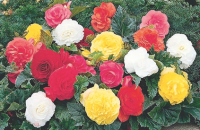 FREE Beautiful begonias