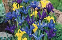 Iris reticulata mixed bulbs