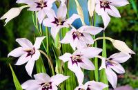Free Peacock Orchid bulbs