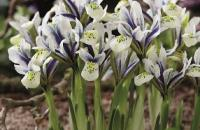 Sept 2021 Offer – FREE Iris Eyecatcher Bulbs worth £17.99