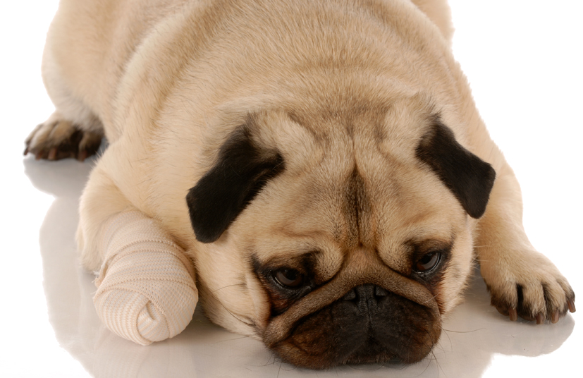Dog with its paw in a bandage