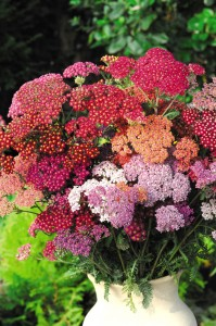 Achillea Summer Berries Improved