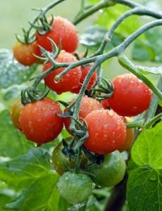 Losetto tomatoes