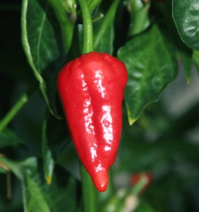 Norfolk Naga chilli