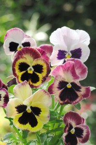 Pansy Summer Berries